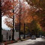 金沢中央公園横アメリカ楓通り紅葉