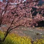 伊豆 河津桜まつり