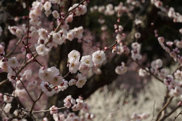 吉野梅郷梅の公園ピンク