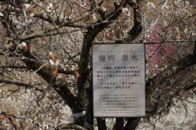 吉野梅郷梅の公園原木
