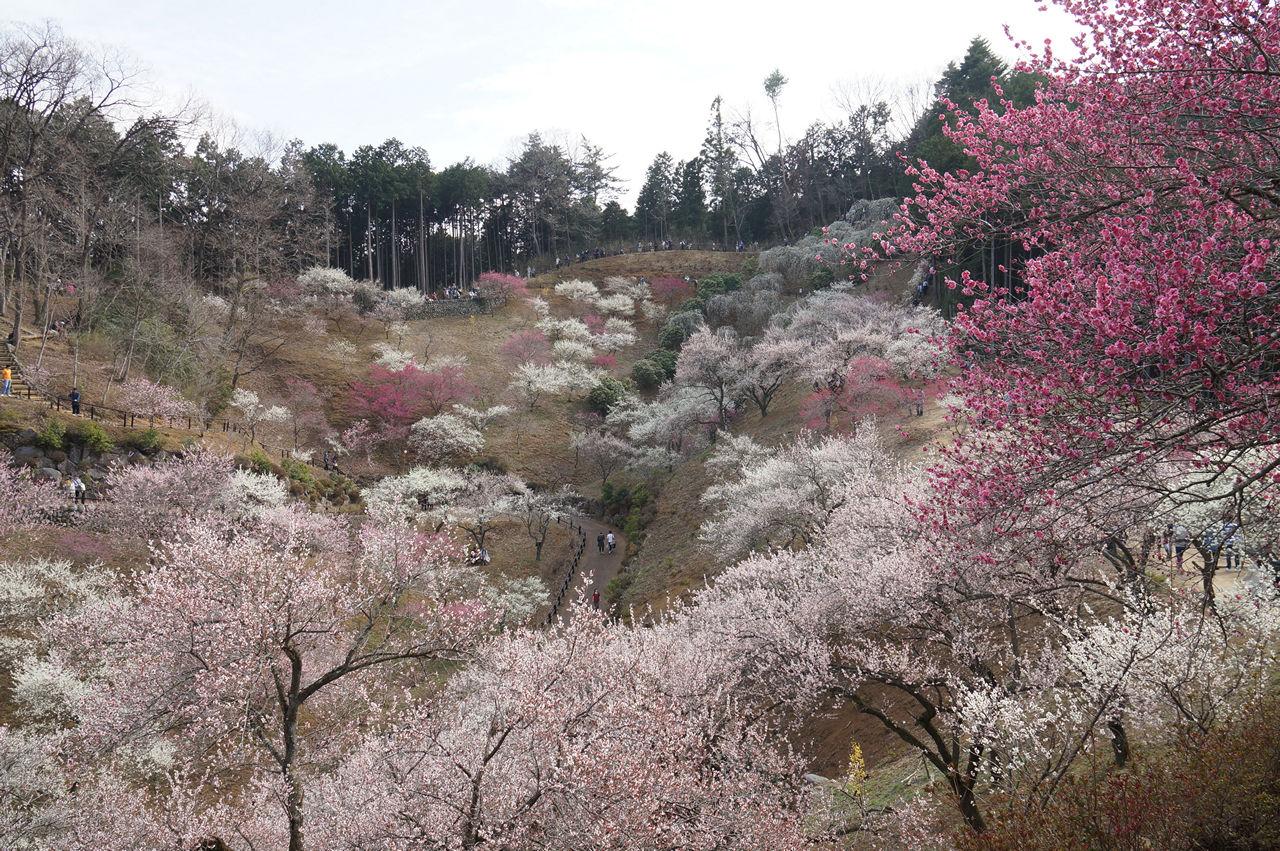 吉野梅郷梅の公園丘陵全体