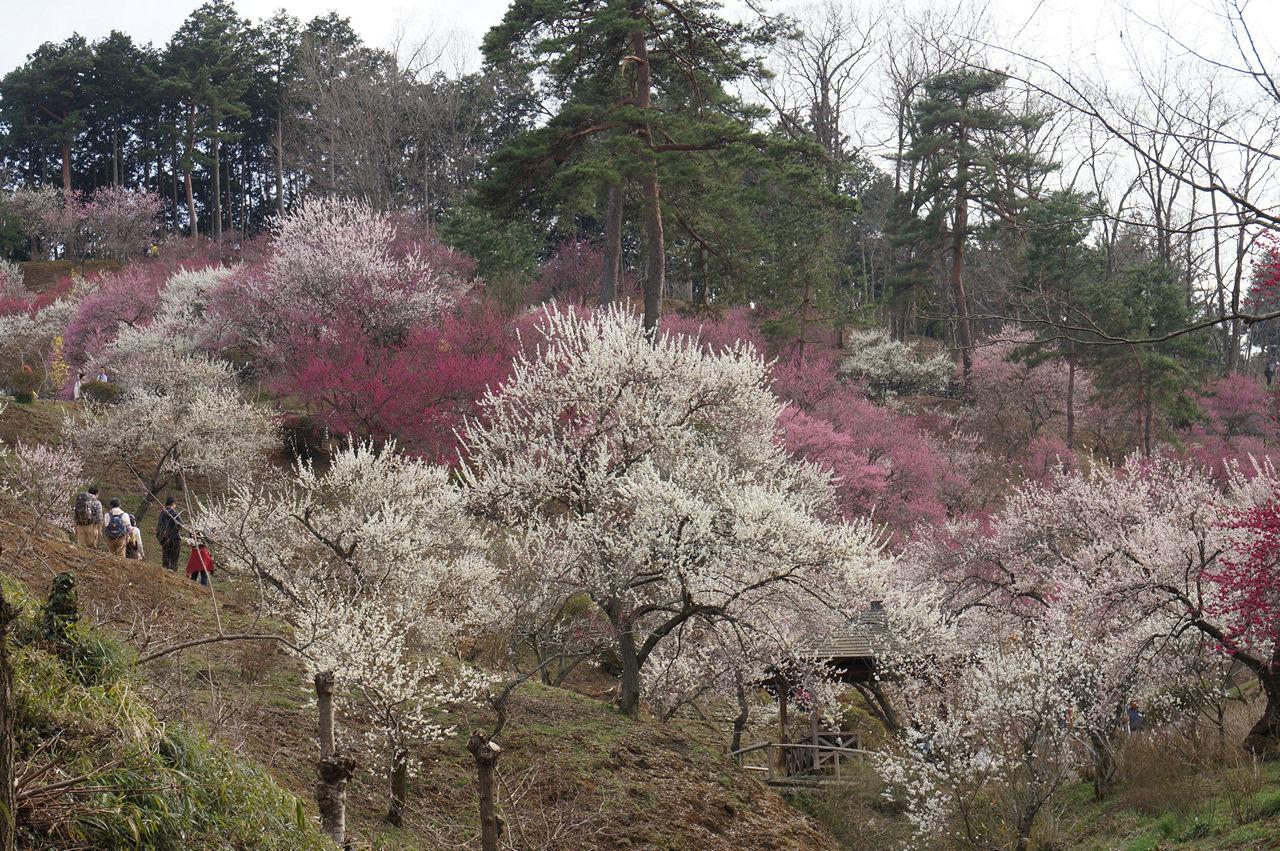 吉野梅郷梅の公園眺め
