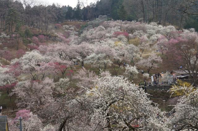 吉野梅郷梅の公園全体眺め