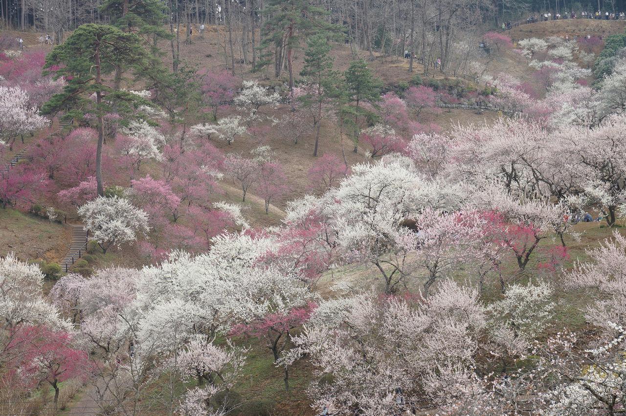 吉野梅郷梅の公園全体眺め2